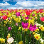 Jardinage : comment planter les tulipes et les entretenir ?