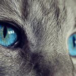 Ces chats rares pour leurs yeux