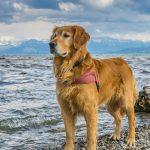 3 qualités du Golden Retriever qui vous feront l'adopter