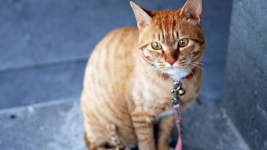 quel collier antipuces choisir pour votre chat ?