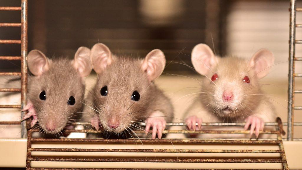 comment se débarrasser efficacement des rats ?